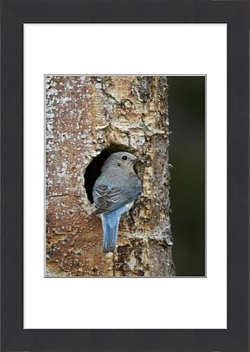 framed-print-of-female-mountain-bluebird-sialia-currucoides-with-food-at-the-nest