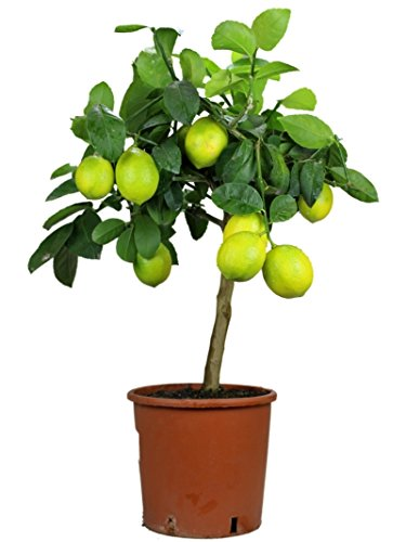 Meyer-Zitronenbaum Mezzo