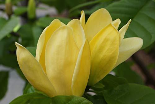 Magnolie Geeignet als Solitärpflanze