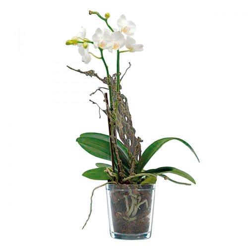 orchideentopf-klar-oe125cm
