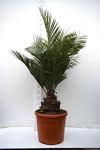 Seltene Jubaea chilensis - Honigpalme - Gesamthöhe 150-170cm - Stamm 25-35cm - PotØ 45cm