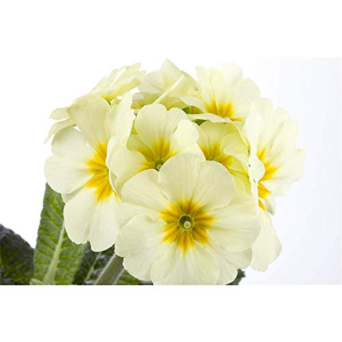 Hohe Schlüsselblume, Primula elatior, P 0,5