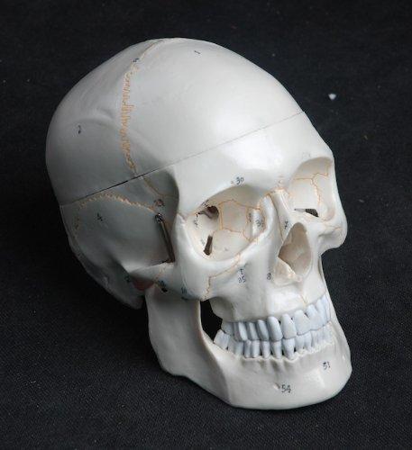 Zoom IMG-1 s24 2110 modello anatomico di