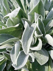 JustSeed - Flower - Stachys byzantina - Lambs Ear - 50 Seeds