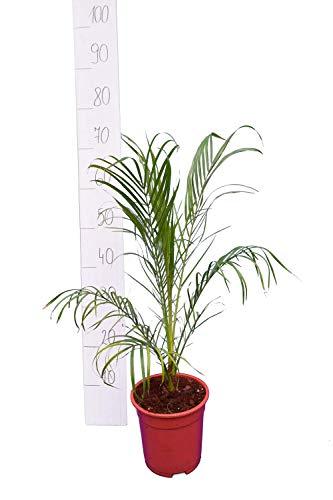 Phoenix roebelenii, Palme, Zwergdattelpalme - Gesamthöhe: 60-70cm, Topf: Ø 17cm