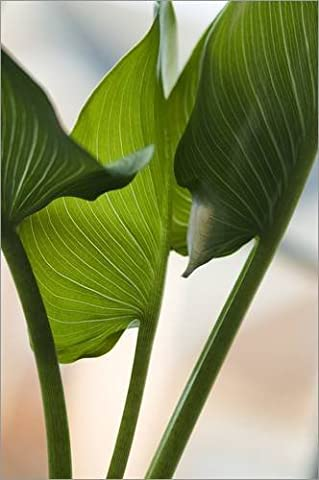 Impression sur bois 60 x 90 cm: Calla lily leaves (Zantedeschia sp.) de Maria Mosolova / Science Photo