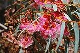 EukalyptusTorquata, 40 frische Samen, roter Coral Eucalyptus