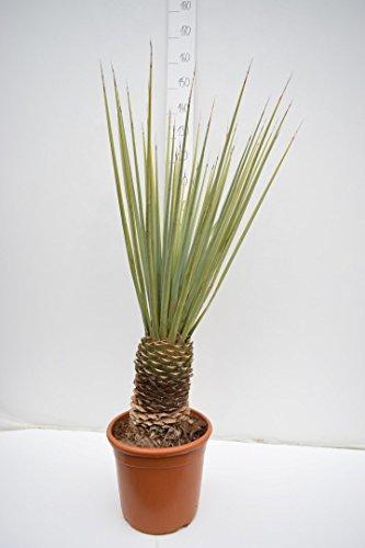 Winterharte Blaukronige Kugelyucca - Yucca rigida - Gesamthöhe 110-130cm - Stamm 30+cm - Topf ø34cm