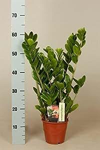 Zamia palma zamioculcas zamiifolia 60cm for Zamioculcas cura