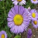 Erigeron Rosa Jewel Blumensamen (Erigeron Speciosus Rosa Juwel) 800 + Seeds