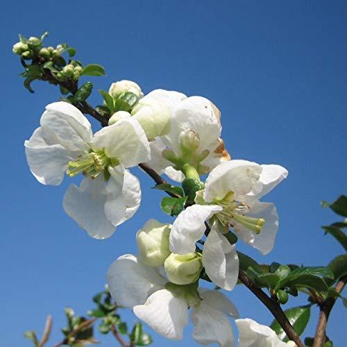 Müllers Grüner Garten Shop Zierquitte Jet Trail Scheinquitte weiße Blüte verwertbare Früchte ca. 30-60 cm im 3 Liter Topf