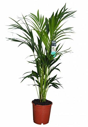 FloraStore – Palme Kentia (Topf 24 cm H. 120 cm) (1x), Zimmerpflanze