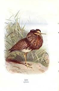 Ruff par une copie sauvage 1903 d'oiseaux de Thorburn