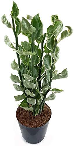 Fangblatt - Pedilanthus tithymaloides - das Teufelsrückrat ist eine erstaunliche Zimmerpflanze, mit sehr dekorativen Blättern - ideal für das Fensterbrett, Terrasse oder Wintergarten