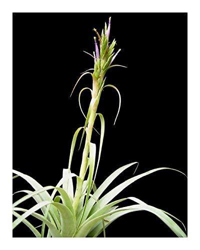 Tillandsia belloensis - Bromeliaceae - 5 graines