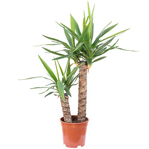 Palmlilie 2-stämmig - Yucca Elephantipes Palme 45/20 - Höhe ca. 80 cm, Topf-Ø 17 cm