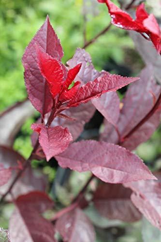 Zwerg-Blutpflaume, Strauch-Blutpflaume - starke Pflanze im grossen 5lt Topf
