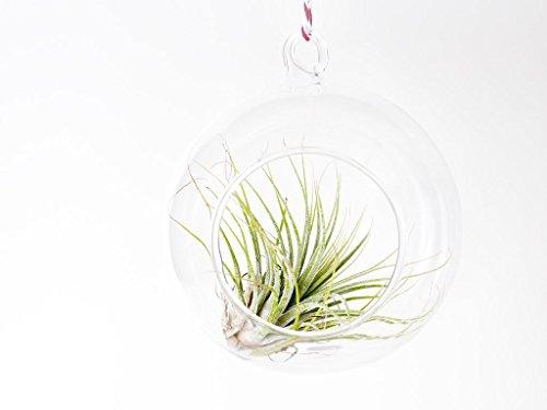 dill-et-menthe-terrarium-en-verre-10-cm-x-10-cm-boule-de-noel-a-suspendre-fixez-vos-propres-a-cordes