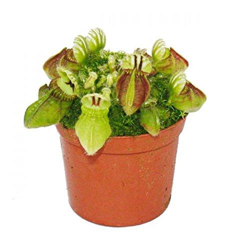 *Fleischfressende Pflanze – Zwergkrug – Cephalotus follicularis – 9cm Topf – Rarität*
