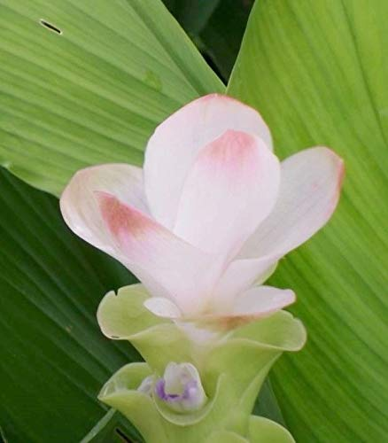 AGROBITS Onkel Chan * Birnen-Weiß Curcuma Alismatifolia Rosa Siam Tulip Ginger Rare P C821