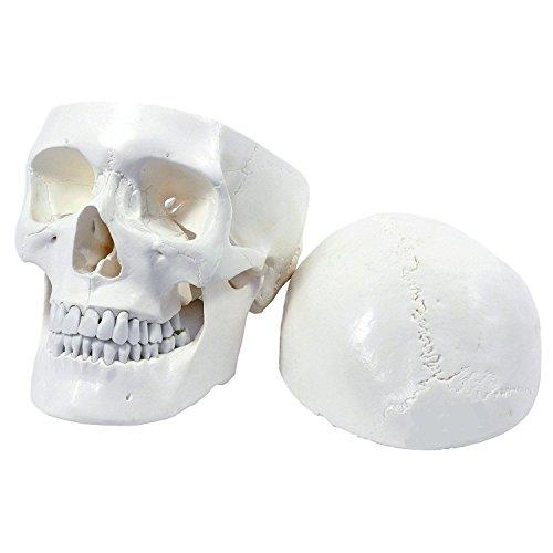 Zoom IMG-1 s24 2103 cranio umano modello