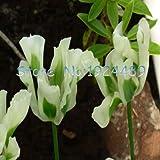 Pinkdose 24 tipos de diferentes colores de las semillas de tulipanes holandeses de estilo tulipán en maceta 120PCS muebles de jardín bonsai: 22