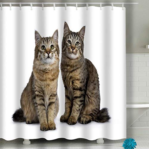 Curtain Duo Two Pixie bob cat Kittens Both Sitting Straight up Isolated White Background Facing Camera Purebred Pixie bob Cats Fabric Bathroom Decor 60 X 72 Inch ()