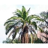 PlenTree 5 Semillas de Phoenix Rupícola acantilado Date Palm