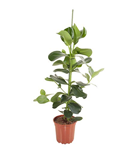 Balsamapfel Höhe 90-100 cm Topf-Ø ca. 24 cm Clusia rosea