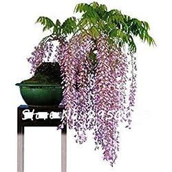 Vista Mehrjährige Blume Glyzinien Samen Creeping Vine Bonsai Tree Seeds Klettern Rattan Glyzinien Blumensamen für DIY Hausgarten 1 Stücke 13