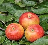 Müllers Allergiker-Apfel 'Santana' ca. 150 cm im 10 Liter Topf