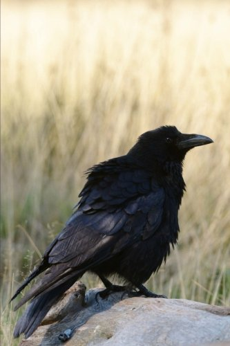 Carrion Crow Corvus Corone Bird Journal: Lined Notebook/Diary
