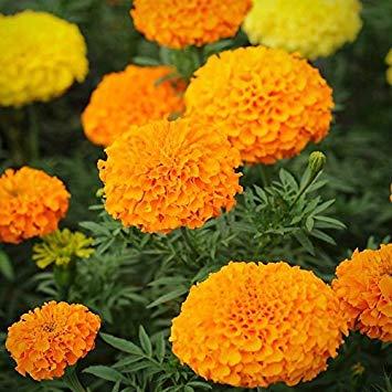 Galleria fotografica BloomGreen Co. MARIGOLD AFRICANI misto semi di fiore (AVG 50-100) SEMI X 10 PACCHETTO