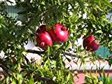 #10: Nelesa Gardening Live Pomegranate Fruit Plant Punica Granatum Plant