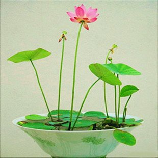 Creative Farmer Dwarf Lotus Flower Seeds (Pack of 15 Seeds)