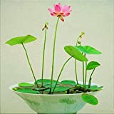 Lotus Seeds For Home Garden Flower Seeds (Dwarf) -15 Seeds by Creative Farmer