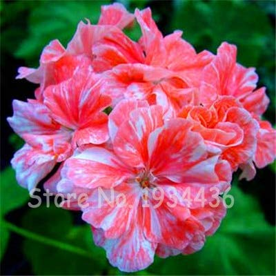 Plentree Samen Paket: 5 Beutel 10 Stück Pelargonium Peltatum Bonsai DIY Hausgarten s Indoor hübsche Blume Topf Weihnachtsgeschenk: R (Hübsche Blumen-topf)