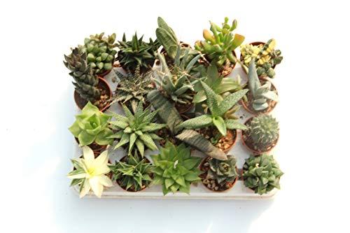 20 Mini-Sukkulenten 5,5cm Topf - Kakteen- echte Pflanzen - Ohne Dornen- Produktion Viggiano Cactus