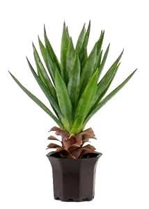 Yucca Small Cactus - Artificiale - H.50 cm