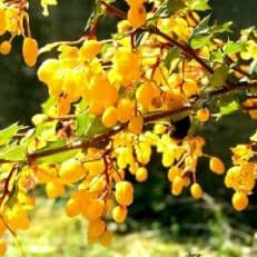 Mahonie - Mahonia aquifolium - Samen
