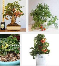 Semences ornamentales fruitiers Graines de Tomate végétales, graines de tomate chaîne, petites tomates rouges, autour de 100 particules