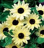 """Premier Seeds Direct SUN12F feinste SonnenblumenSamen """"Vanilla Ice"""" (Packung mit 40)"""
