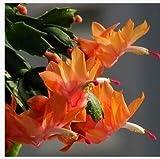 10 semi di colore Schlumbergera misti giardino di fiori in vaso di piante rare