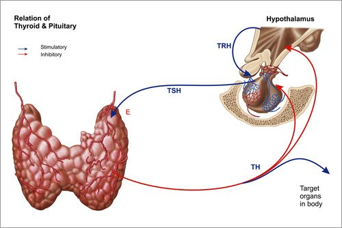 Forex-Platte 60 x 40 cm: Relation of thyroid and pituitary gland. von Stocktrek Images / Stocktrek Images