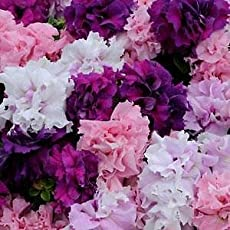 OliverSeeds Flower Seed Petunia Double Cascade Orchid Mist (20)