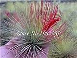 Pinkdose 100 Teile/beutel Bunte Schwingel Gras Bonsai Indoor Garden Festuca Mehrjährige Winterharte Zierpflanzen Einfach Wachsen Bonsai Sementes: 2
