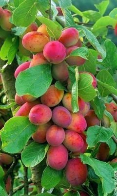 big-juicy-victoria-plum-tree-4-5-ft-tall-ready-to-fruit-self-fertile-juicy