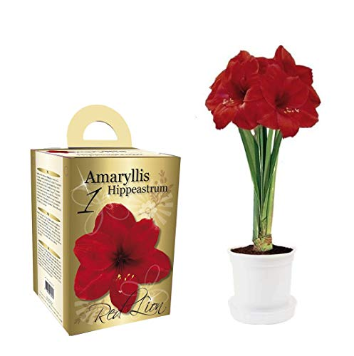 Amaryllis set regalo Amaryllis include pot & Potting compost
