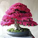 #10: Creative Farmer Bonsai Sakurakaia Indoor Plant Seeds (Pack of 5, Multicolour)