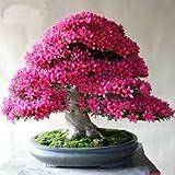 #5: Creative Farmer Bonsai Suitable Sakurakaia Indoor Plant Seeds